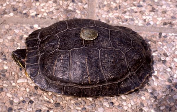 Tartarughe d acqua 7 cose da sapere prima di comprarle for Mangime tartarughe acqua