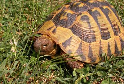 Il risveglio dal letargo delle tartarughe terrestri pets for Letargo tartarughe acqua