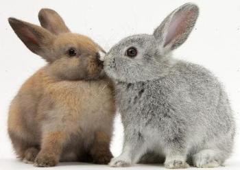 coppia conigli