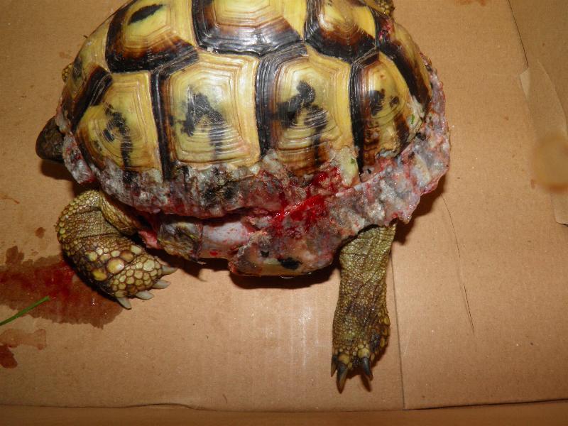 Come prevenire le lesioni alla corazza nelle tartarughe for Accoppiamento tartarughe